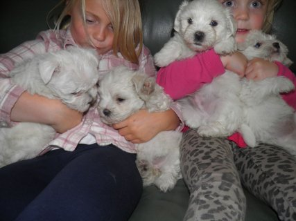 Beautiful tiny teacup Maltese Terrier Puppies