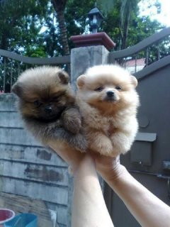 Pure Tiny Micro Teacup Adorable Boys And Girls Ready Now Pomeran