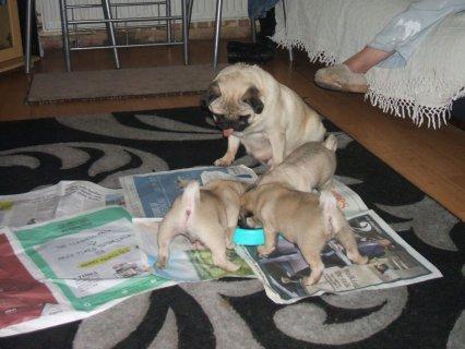 Little Pug Puppies Kc Registered, Excellent Bloodlines for adopt