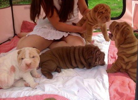 Shar pei Puppies Ready Now