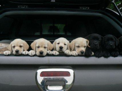 Adorable Champion Sired Labrador Pups Ready Now