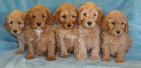 1st Generation Labradoodle Puppies