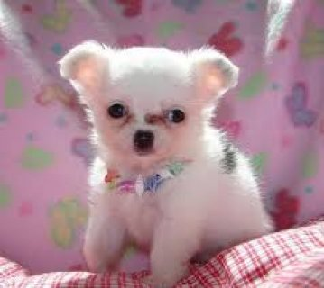 صور Teacup Male and female Chihuahua puppies for adoption 1