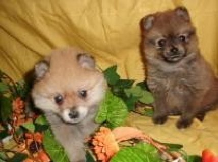 صور Pomeranian Puppies for free Adoption 1