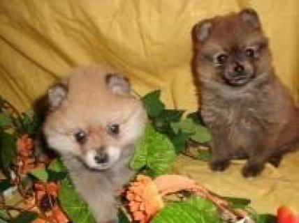 Pomeranian Puppies for free Adoption