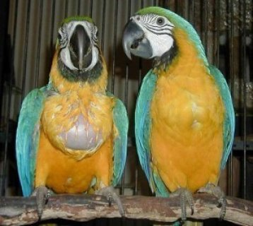 Gorgeous Tamed & Talking green & Gold Macaw