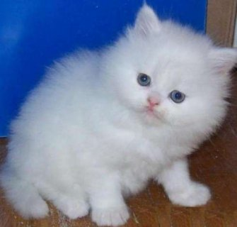 Persian kittens for adoption