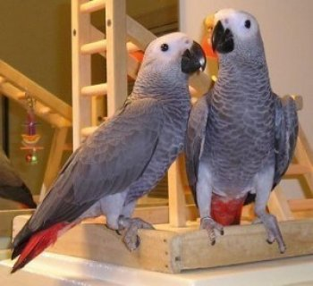 Umbrella Cockatoos and Africa Gray Parrots for Sale....