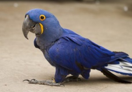 Hyacinth Macaw Birds