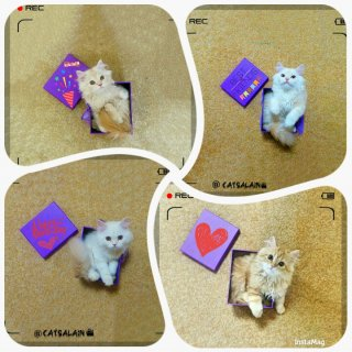 قطط بريطانية شيرازية للبيع 2