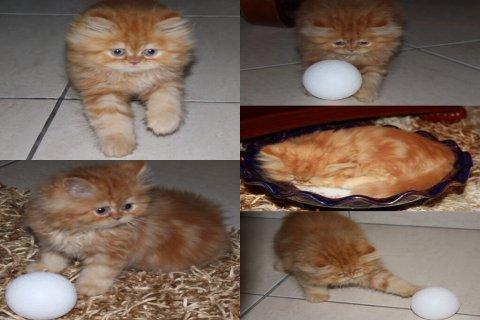 قط شيرازي لعوب ونظيف