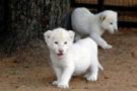 Cheetah Cubs for sale|Tiger cubs for sale| Lion cubs for sale