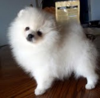 All White Pomeranian Puppy for Sale