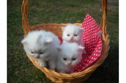 Sweet Male And Female Tiny Teacup Persian Kittens For adoption(W