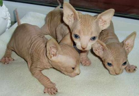 Gorgeous Sphynx Kittens Ready to Go