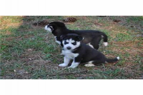 Registered Siberian Husky puppies For Aoption