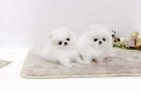 صور Super Tiny Teacup AKC Toy Pomeranian Puppies for Adoption!? 1
