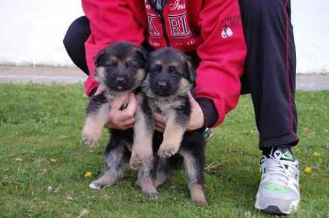 German Shepherd puppies We are proud to advertise two