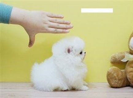 صور Must See  Male and Female Tiny Teacup Pomeranian Puppies For Ado 1