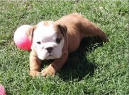 صور English Bulldog Puppies Available 1