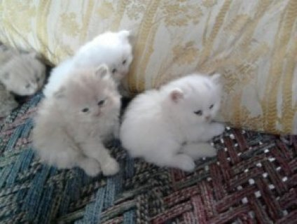 Toy Persian kittens ready for   adoption