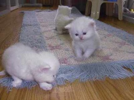 صور Gorgeous male and female white Teacup Persian Kittens in need of 1