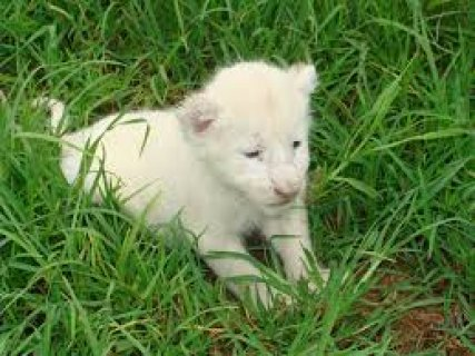 Tame Cheetah, Jaguar , Tiger and Lion Cubs For Sale,