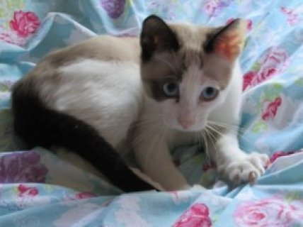 GCCF Registered Snowshoe Kittens For Sale