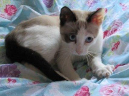 GCCF Registered Snowshoe Kittens For Sale