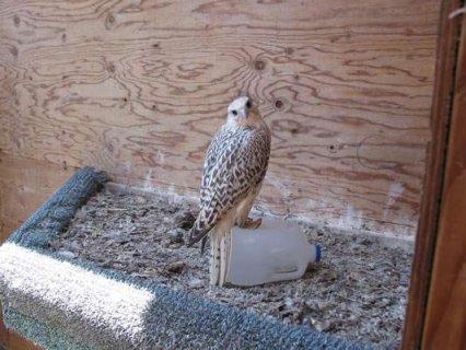 falcon birds for sale