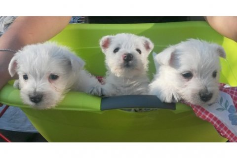 We have Lovely West Highland White Terrier Puppies ready for the