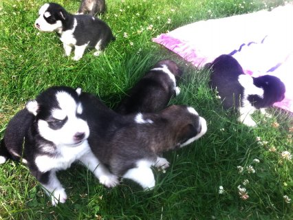 Cute siberia husky puppies ready
