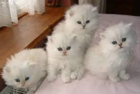 adorable persian  kittens ready to go