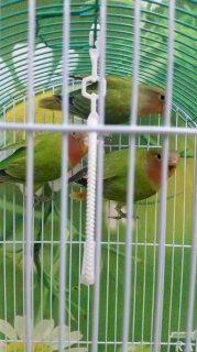 للبيع طيور حب-لوف بيرد-Love bird
