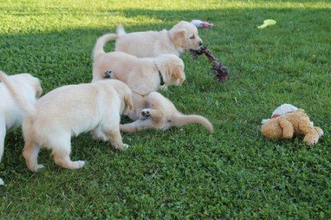 Purebreed Golden Retriever Puppies For Adoption