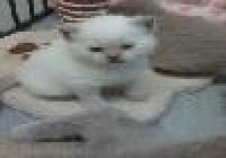 Ragdoll Kittens Ready For New Homes