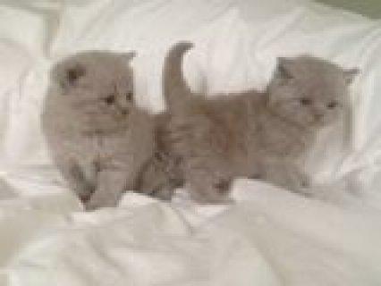 Beautiful British Short Hair Kittens Available