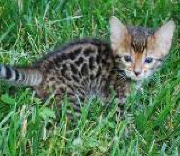 Adorable Savannah Kittens for Adoption
