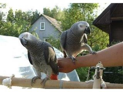 Talking-Pairs-Congo-Afrin-Grey Parrots for Adoption