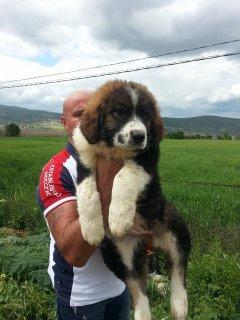كلاب قفقاز