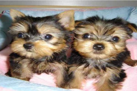 yorkie puppies for homes