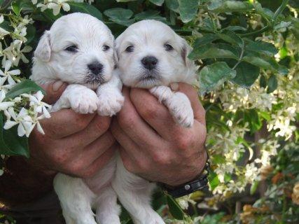 كلاب مالتيز