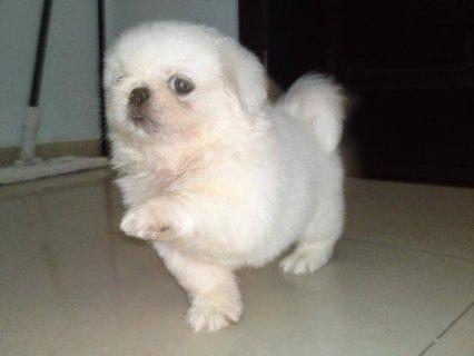كلب بكناز