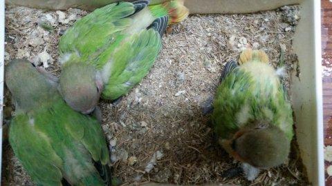 فروخ  طيور الحب بسعر جميل جدا