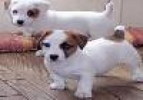 صور Beautiful Jack Russell Terrier Puppies to Go 1