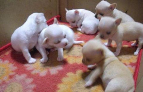 صور White Apple Head Teacup Chihuahua Puppies Ready 1