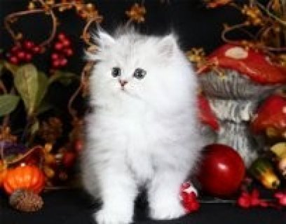 صور GOGEOUS AND ADORABLE PERSIAN KITTEN FOR ADOPTION 1
