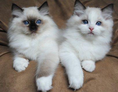 ผลการค้นหารูปภาพสำหรับ white fluffy cat with blue eyes