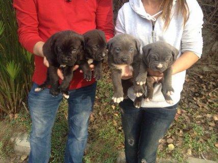 كلاب كاني كورسا-