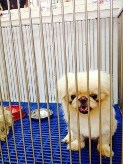 للبيع كلب جابانيز